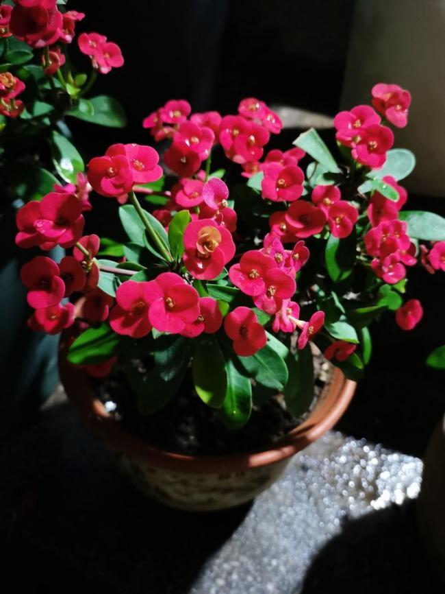 不適合勤澆水的6種花,澆多了,就黃葉! 第6张