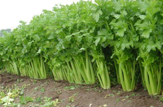 春天會吃芹菜的人,血壓、血糖一起降,順便還能幫腎臟排濕毒 第3张