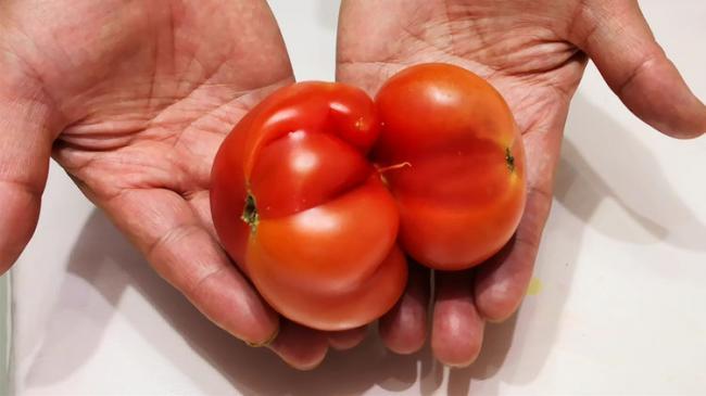 挑選西紅柿時我們要如何辨別有沒有打激素? 第4张