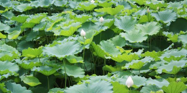 水生植物荷葉不僅果實好吃 連根和梗都是餐桌上的美味 第1张
