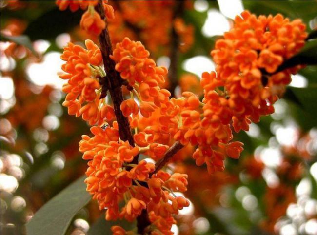 朱雀種五樹,金蟬代代出,其中五樹指的是哪五樹? 第4张