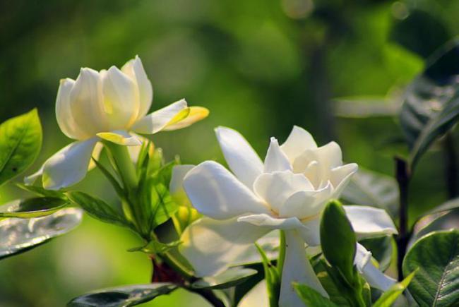 朱雀種五樹,金蟬代代出,其中五樹指的是哪五樹? 第5张