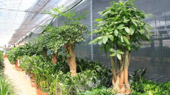 朱雀種五樹,金蟬代代出,其中五樹指的是哪五樹? 第7张
