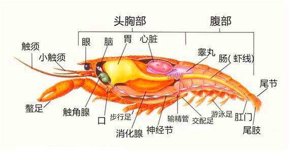 吃小龍蝦時都要把頭全部撇掉,看下蝦頭都有哪些器官 第2张