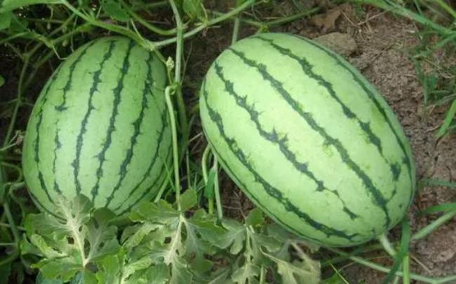 教你分辨西瓜的公母,保證挑到又好又甜又起沙的西瓜 第1张
