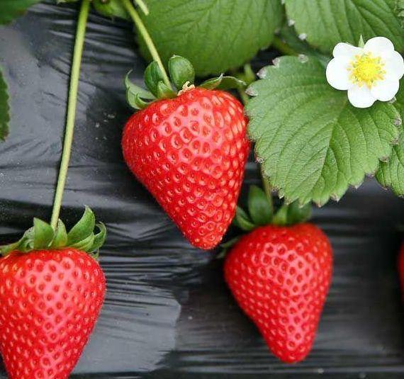 最好吃的草莓品種都在這裏,你吃過幾種? 第2张