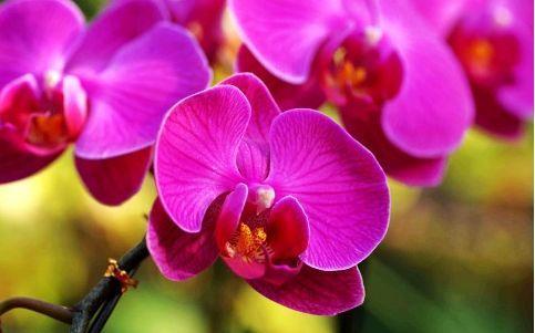 蝴蝶蘭花種植,記住這幾種方式,蝴蝶蘭長得很茂盛 第3张